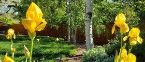 magic of yellow irises in yard