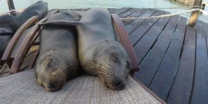two seals resting snuggled on dock